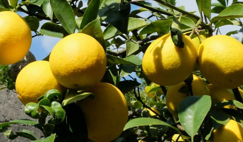 lisbon_lemon_001